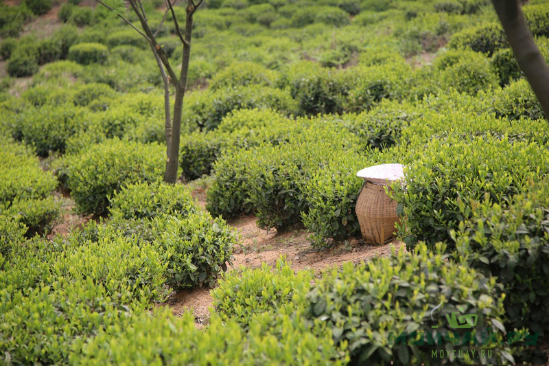 green tea bushes
